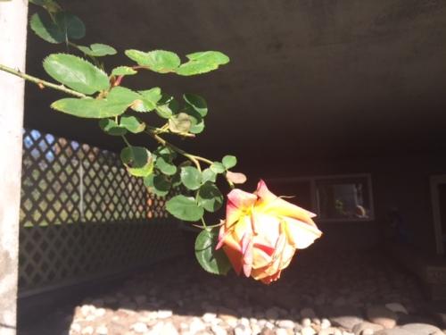 fullblown rose in March
