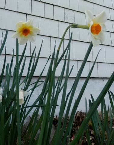 I do love small cupped narcissi.