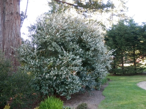 Sweet scent wafted from this Osmanthus.