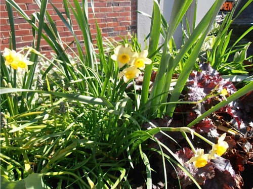Allan's photo: narcissi and heuchera by the Elks Lodge