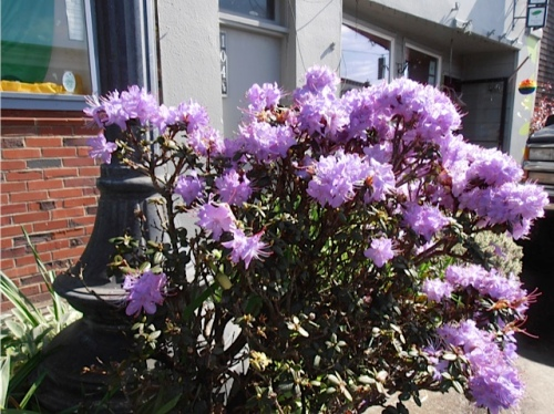 Allan's photo: dwarf rhododendron by Funland