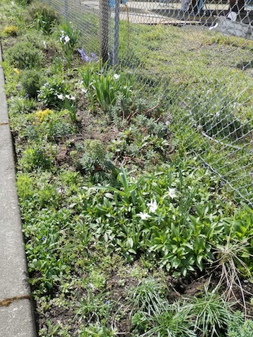 Failed to get a photos showing the pleasant clumps of white narcissi all down the boatyard garden.  Lots of perennials and lots of poppy seedlings.