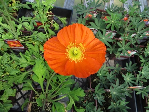 Papaver 'Wonderland Orange'