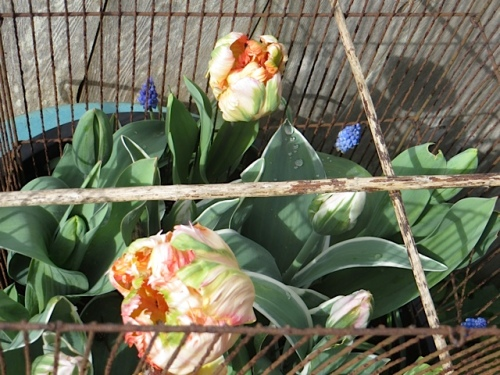 parrot tulips by the fence in a deer protective cage