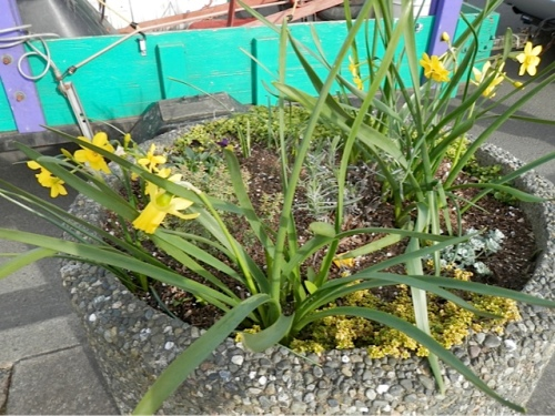 narcissi in a planter
