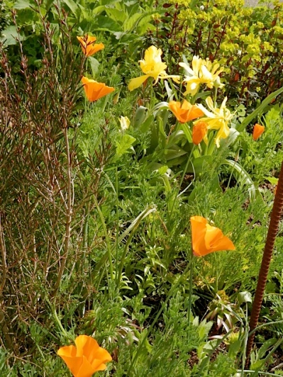 California poppies and tulips