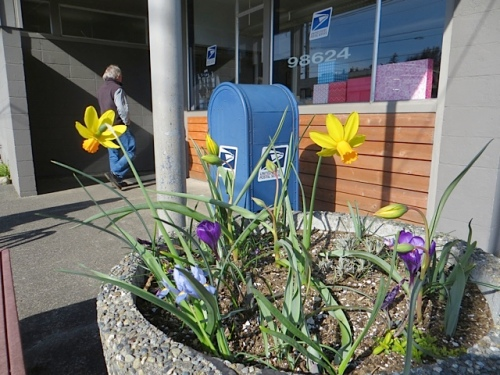 On the way to work, the planter at the Ilwaco Post office has narcissi and the buds of Tulip sylvestris