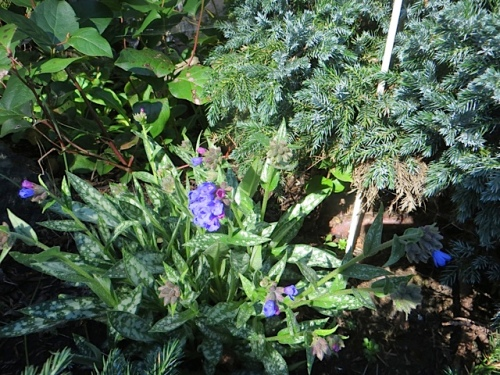 pulmonaria in bloom