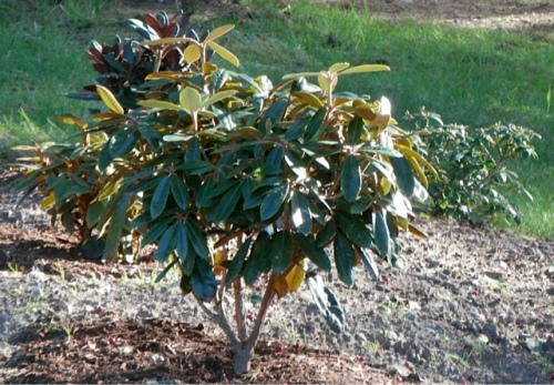 The garden holds a large collection of young rhododendrons, along with old well established ones.