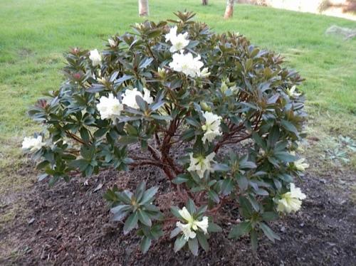 Rhododendron fletcherianum