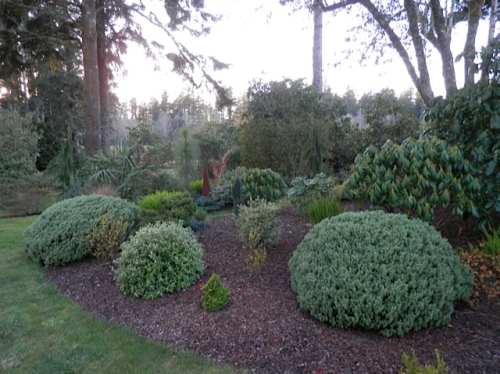 The rhododendrons hold their leaves partly closed in winter, for protection.