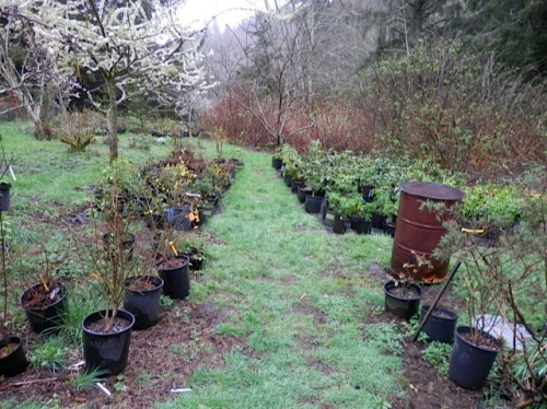 a rhododendron area stretching out behind the greenhouses