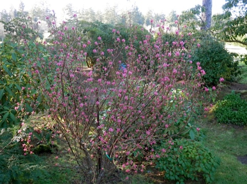 On the way: Ribes sanguineum (flowering currant)