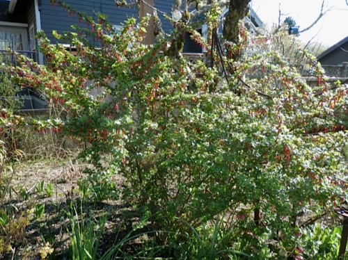 and so is the Ribes speciosum