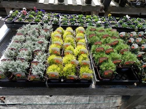and three cultivars of santolina.