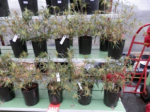 I got two of these spider azaleas, one for me, and one for Steve and John if they want one.