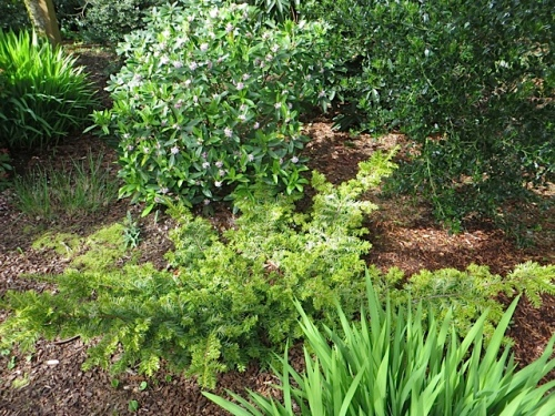 a prostrate form of taxus backed with a Daphne, still blooming (as it was on our last visit)
