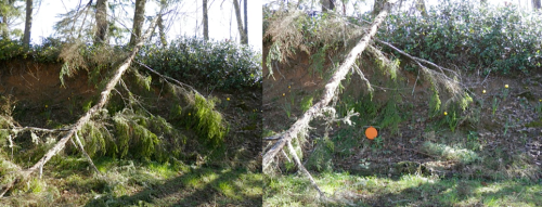 We did some limbing on a fallen tree that was blocking the view of some of our narcissi