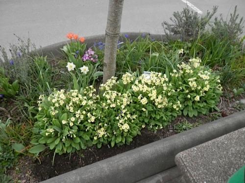 primroses under a street tree