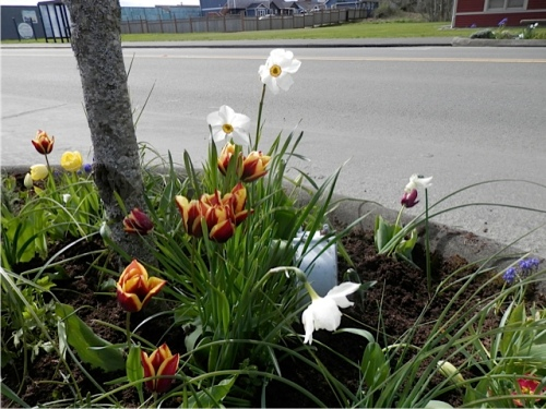 the tree by Compton's Mini Mart with Tulip 'Gavota' which has come back several years in a row, now with smaller flowers