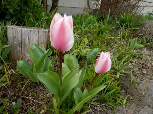 A couple of tulips have returned in the garden bed.  I'm surprised the visiting deer have not eaten them.