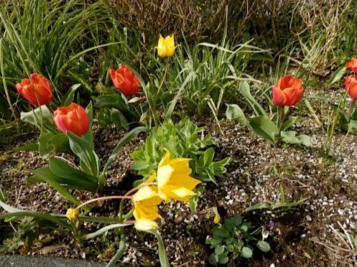 more tulip admiration