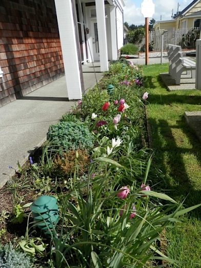 the tulip bed in Fifth Street Park needed deadheading and I ignored it!