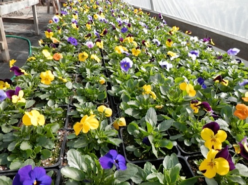 I like violas with small flowers better than the ruffly pansies.