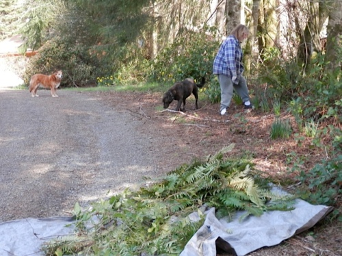 my helpers; too bad Dusty won't haul all the fallen branches away for us.