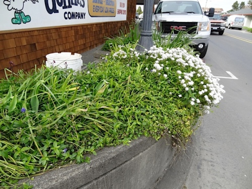 2nd N and Pacific...I SO hope to get this vinca-heavy planter redone this spring!