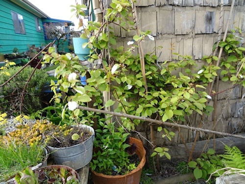 Actinidia polygama on the shed