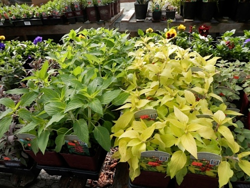 """two kinds of pineapple sage: to the right is """"Golden Delicious'"""