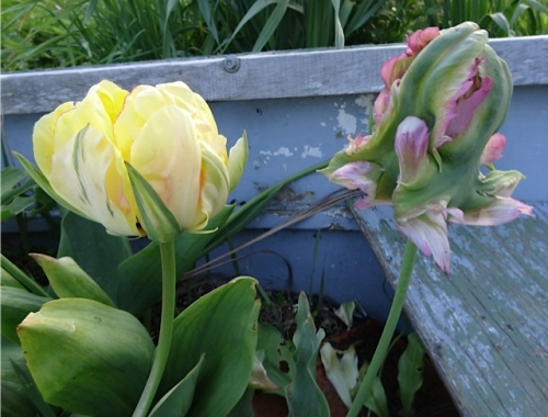 Tulip 'Akebono' and 'Green Wave' in bud