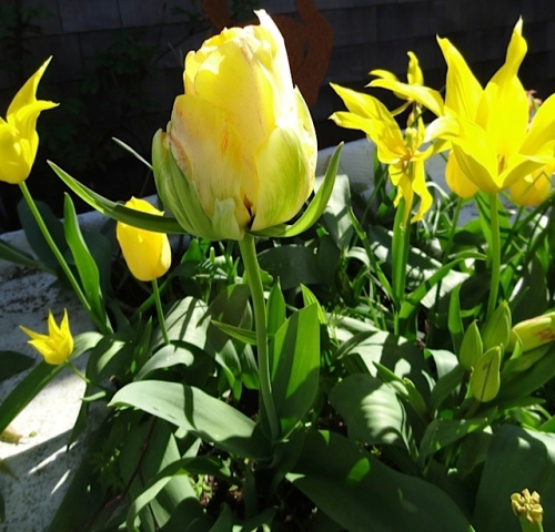 Tulip 'Akebono' (left) is my favourite this year.