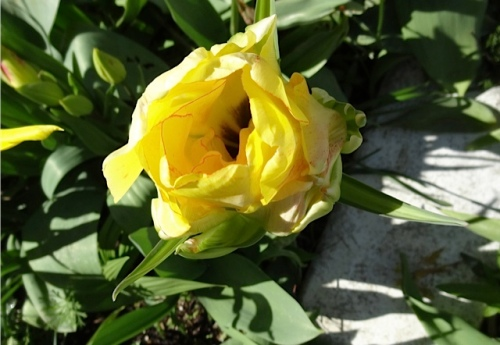 Tulip 'Akebono'; note the thin red petal outline