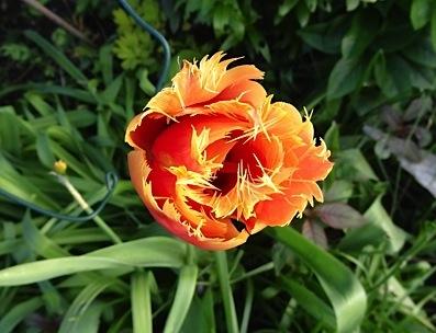 Tulip 'Aleppo'