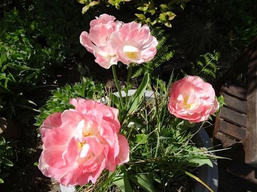 In the fenced garden, Tulip 'Angelique'
