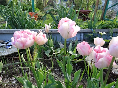 Tulip 'Angelique'  (pretty sure, although that green flame confuses me)