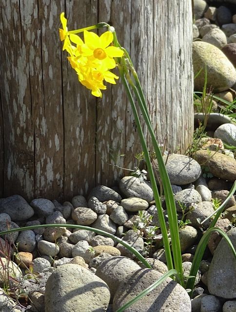 Narcissus 'Baby Moon' blooming in the garden by the old Harbor Lights motel.