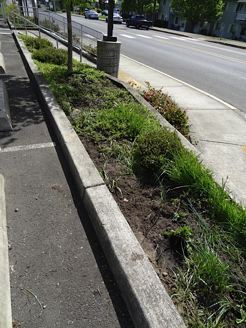 and all down this bed where couch grass intermingles with kinnickinnick.
