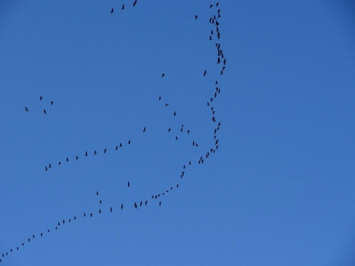 Their swirling flight pattern made me think they were something like sandpipers.