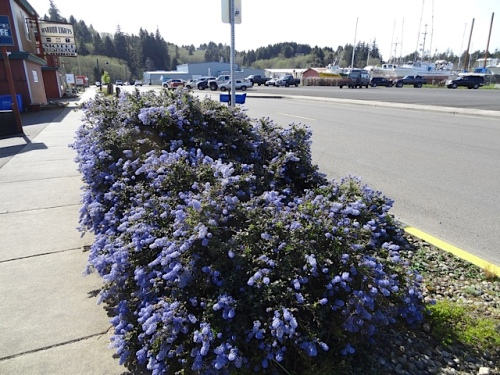 The Time Enough Books garden area with blue ceanothus is easy right now.