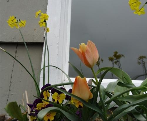 ...along with Tulip batalinii 'Bright Gem'