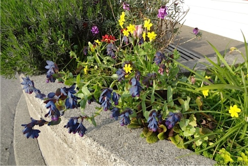 in front of the Cottage Bakery: reseeded Cerinthe major purpurascens
