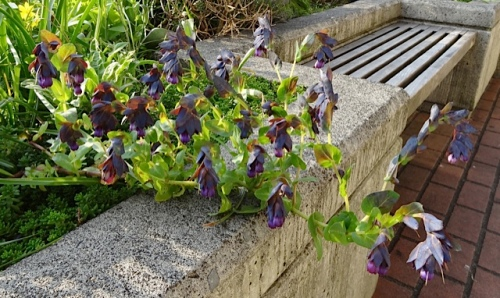 more cerinthe