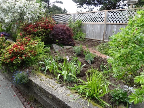 I got this area weeded and somewhat planted.  Cosmos and more will come later.