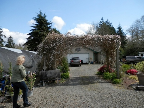 I took a photo of the arbour of glorious pink Clematis montana...another plant that they carry for sale.