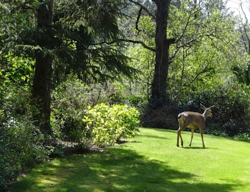 A deer slowly eluded us at the A Frame garden.