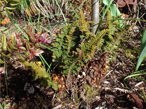 Alaska fern before