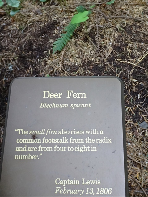 their description of a deer fern
